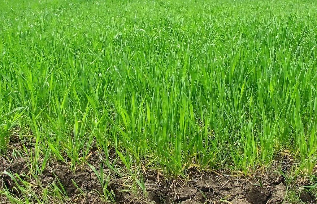 Молодые посевы пшеницы
