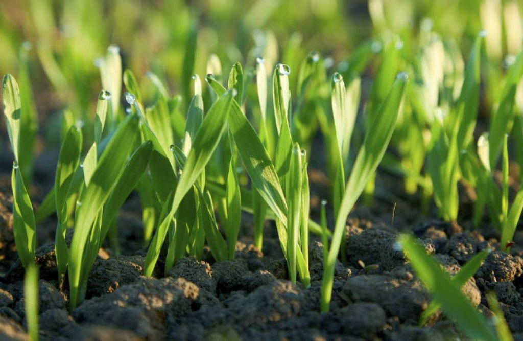 Молодые всходы яровой пшеницы