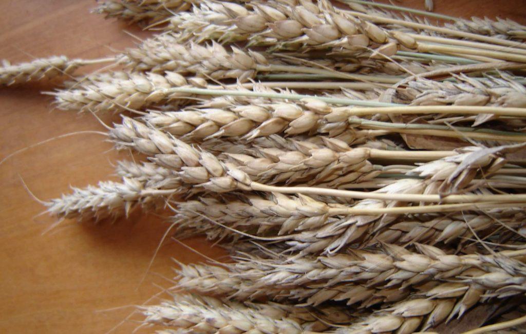 Пшеница яровая мягкая сорт Лада