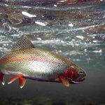 В Тюменской области развивают производство пресноводной рыбы