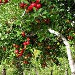 Тамбовские власти  взяли курс на развитие плодово-ягодной отрасли