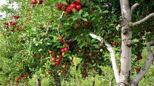 В Тамбовской области увеличивают плошадь садов