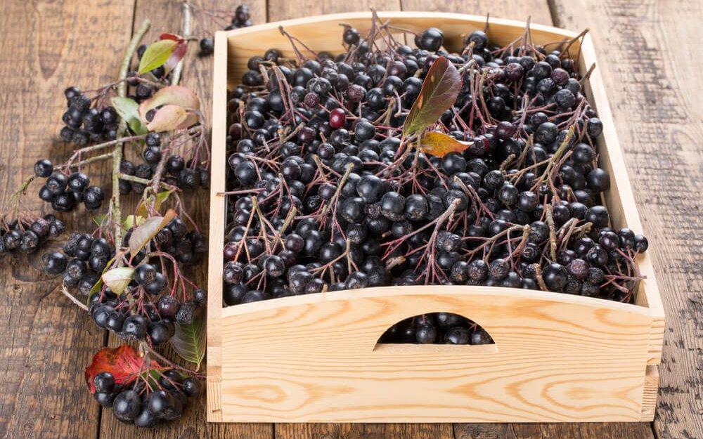 Сбор ягод черноплодной рябины