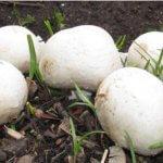 В Республике Хакасия автоматизировано выращивание шампиньонов