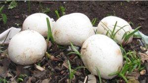 Саяногорская грибная компания модернизирует производство