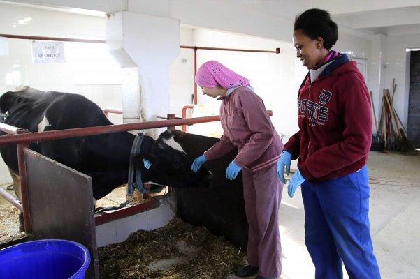 В учхозе Краснодарское получают от одной коровы до 12 тыс. кг молока в год