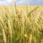 Яровая пшеница: описание, особенности возделывания, сорта и уборка