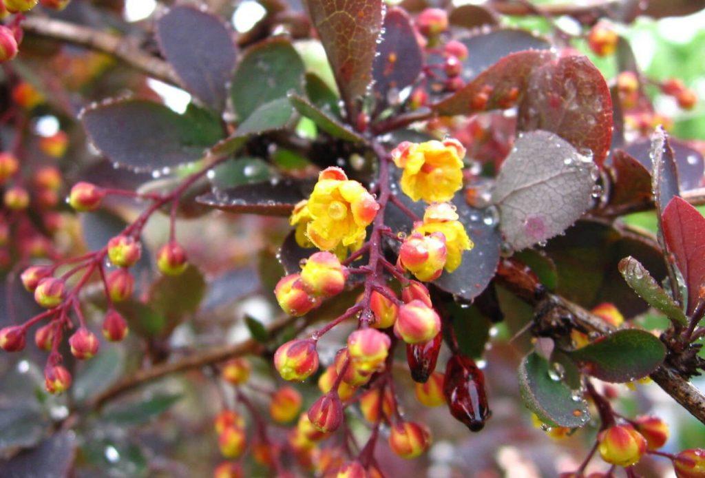 Цветение барбариса обыкновенного
