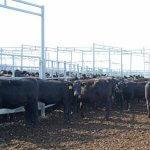 В Калининградской области агрохолдинг «Мираторг»  планирует строительство еще двух ферм