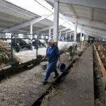 Семейная ферма в Уссурийске обзаведется цехом по переработке молока