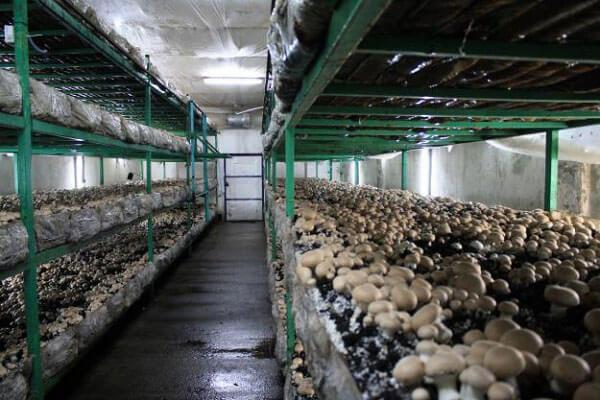 В Иркутской области создают ферму по выращиванию шампиньонов