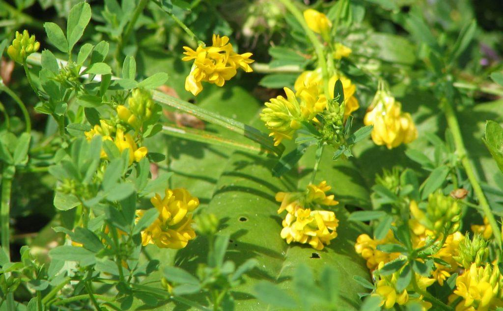 Люцерна желтая посевная