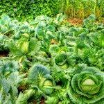 Капуста белокочанная, выращивание, сорта, рецепты на зиму
