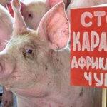 В Краснодарском крае выявлен новый очаг АЧС