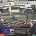На Ямале начали производить рыбные консервы из осетрины