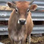 В Хабаровском крае нашли способ борьбы с лейкозом коров