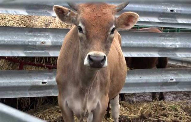Хабаровсе ветеринары разработали систему профилактики лейкоза коров