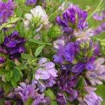 Люцерна: описание растения, выращивание и виды