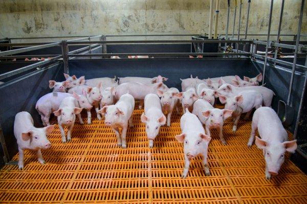 Мираторг увеличивает производство свинины в два раза