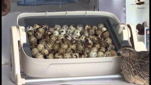 На Сахалинской перепелиной ферме появился первый выводок цыплят