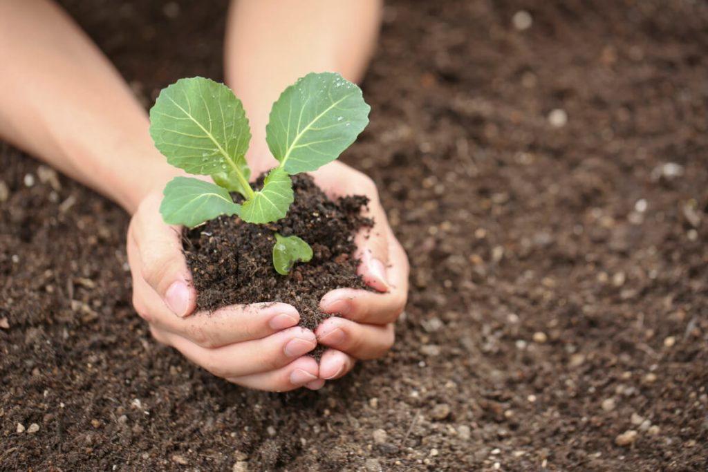 Выращивание капусты рассадой