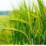 В России создается новый сорт пшеницы, устойчивой к прорастанию