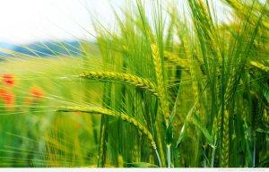 Российские ученые нашли как предупредить прорастание пшеницы в период уборки
