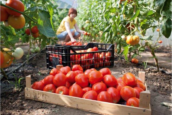 Кубанские производители тепличных овощей выходят в лидеры