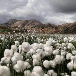Российские аграрии начнут выращивать хлопок