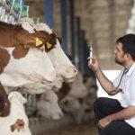 Российские животноводы начали осваивать технологию искусственногог осеменения КРС