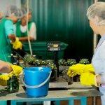 Возрождение кубанского консервного завода