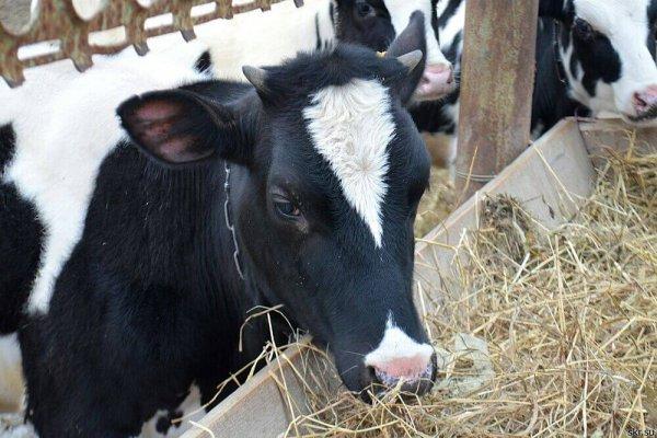 Коровы гна САхалине стали больше давать молока