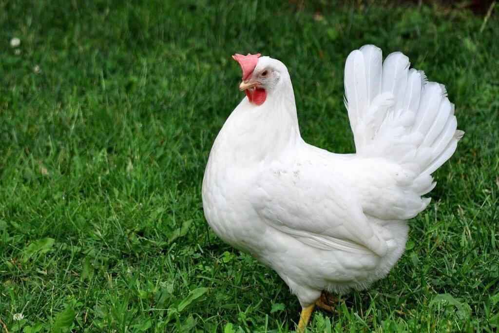 Яичная порода Леггорн