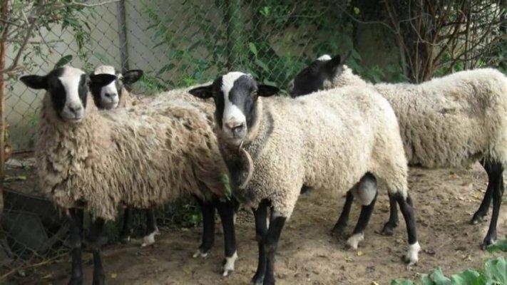 Растениеводы Тюменской области начали разводить овец