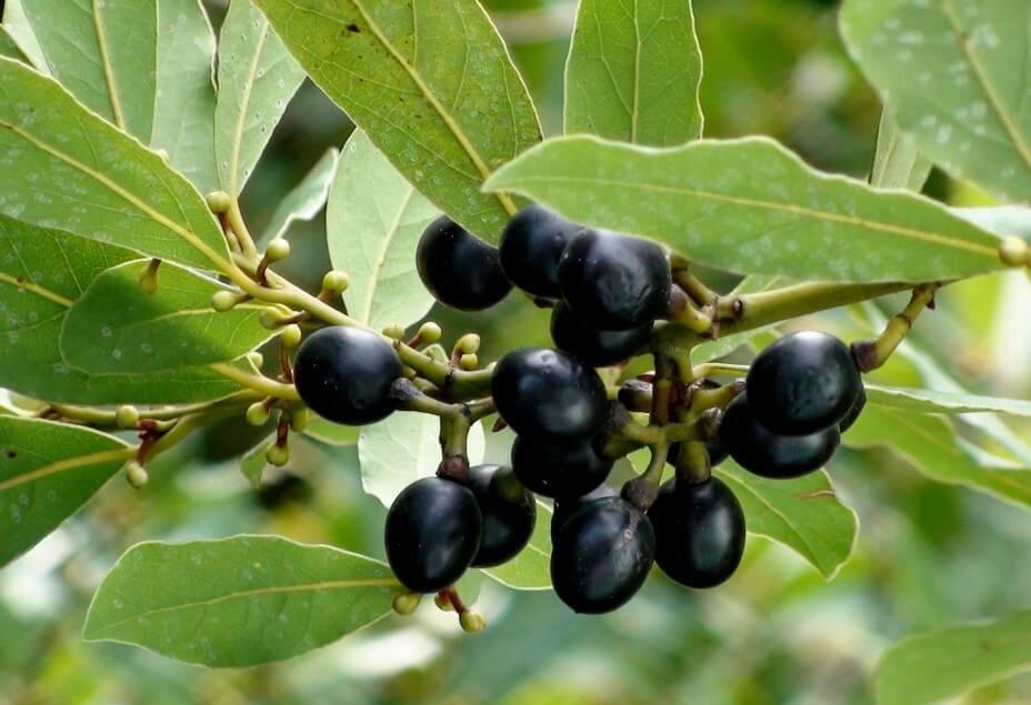 Плоды лаврового дерева