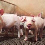 Первая партия племенных свиноматок  будет завезена в ТОР «Михайловский»