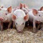 Норвежские инвесторы в Нижегородской области возводят свинокомплексы