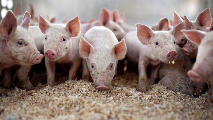 НОрвежская компания строит свинокомплексф в Нижегородской области