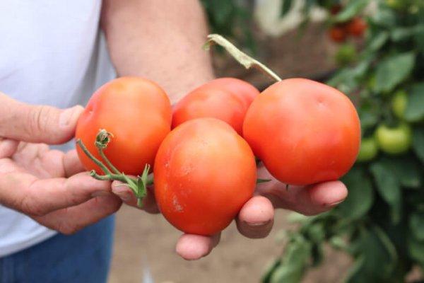Ученые Урала вывели новый гибрид томатов