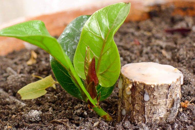 Отросток каучуконосного фикуса