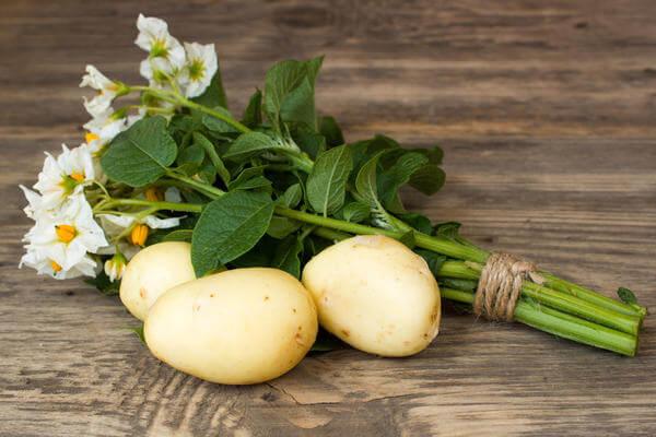 Ученые селекционеры Уральского НИИ вывели новые сорта картофеля