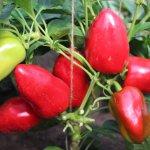 Ученые Сибирского НИИ растениеводства вывели новые сорта сладкого перца и помидор