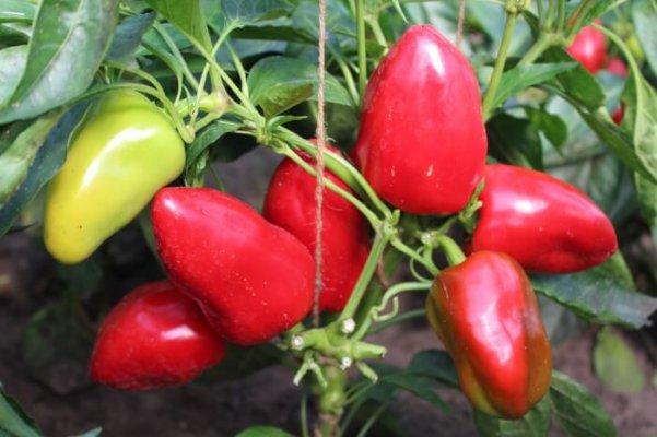 Ученые селекционеры Сибир вывели новые сорта овощных культур