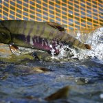 В Челябинской области аквакультуре оказывается максимальная господдержка