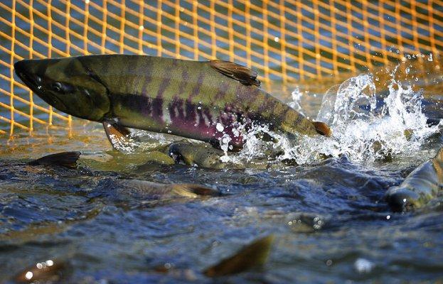 Уральскую аквакультуру поддерживает региональное правительство