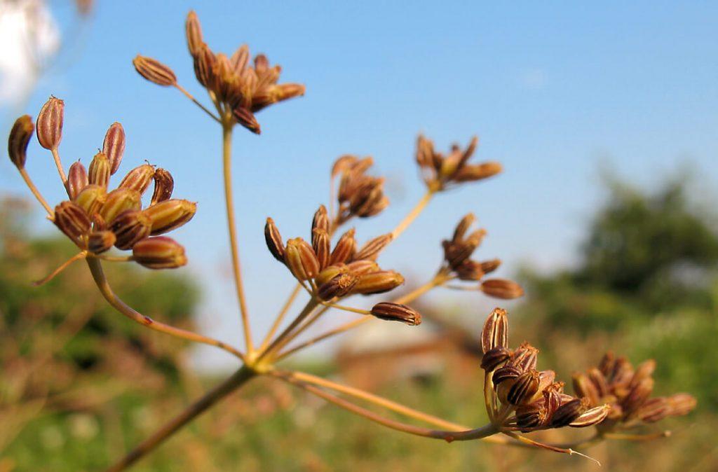 Семена тмина обыкновенного