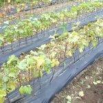 В республике Крым создадут собственный питомник  виноградных саженцев