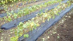В крыму создается питомник виноградных саженцев