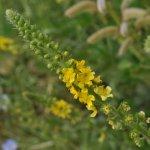 Донник: его свойства, выращивание и разновидность
