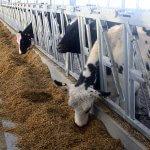Два новых молочных комплекса появятся в Красноярском крае
